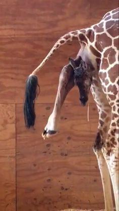 April and baby Giraffe Pictures, Cute Animal Pictures, Animals And Pets, Baby Animals, Cute Animals, Beautiful Creatures, Animals Beautiful, Giraffe Family, Spiritual Animal