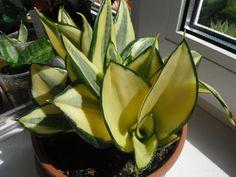 Cacti And Succulents, Planting Succulents, Cactus Plants, Planting Flowers, Colorful Plants, Unique Plants, Cool Plants, Sansevieria Plant, Sansevieria Trifasciata