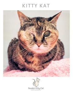Meet KITTY KAT, a Petfinder adoptable Domestic Short Hair Cat | Franklin, TN | Kitty Kat is a gentle, graceful and very sweet cat. She is eight years old.Precious Kitty Kat is...