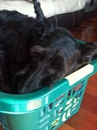 Apparently its not a clothes hamper, it is now their bed. | Community Post: What Every Scottish Terrier Owner Knows