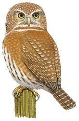 Baja Pygmy Owl Glaucidium hoskinsii - Google Search