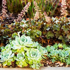 Echeveria and heuchera are a surprising combination. But both unthrirsy and tolerant of some shade, they make a perfect pairing. The burgundy and icy blue is a color combo that pops.