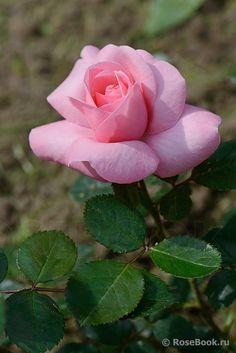'Alderley Park' | Floribunda Rose. Fryer United Kingdom, 2007 Bed Of Roses, Pink Roses, Beautiful Rose Flowers, Beautiful Flowers, Ronsard Rose, One Rose, Floral Backdrop, Rose Pictures, Rose Bush
