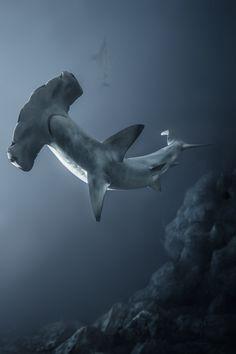 Tubarão martelo / The Majestic Hammerhead Shark Orcas, Beautiful Creatures, Animals Beautiful, Beautiful Women, Hammerhead Shark, Humpback Whale, Water Animals, Life Aquatic, Water Life
