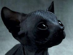 atticbat:  I'm sorry but this kitten looks like the werewolves from underworld