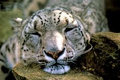 © David Lawson/WWF-UK  Climate change impacts could result in the loss of as much as 30 percent of snow leopard habitat in the Himalayas.