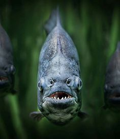 Piranha Photo by Peter Wagner  Tag your best photos with #seewildlife and follows us to be featured!!  Follow all our profiles @see_earth Discover the world with beautiful pictures @see_wildlife Discover the wild world our animals pictures!  #wildtravel #travelgram #amazing #natureza #beautiful #explore #adventure #wildlife #curiosity#travelling #bestoftheday #wildlifepic #traveldiary#picoftheday #inspiration #wildlifephoto #wild #animals#nature #wildlife #outdoors #wildlifepic…