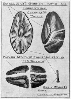 Cacao bean anatomy
