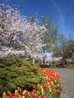 Cherry trees and tulips at Dallas Arboretum.