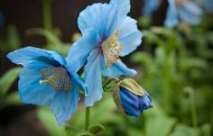 Blue Himalayan Poppies - Longwood Gardens, Kennett Square, PA