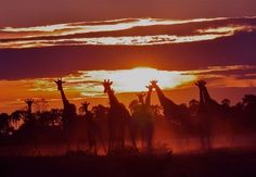 giraffes, safari, sunset, Botswana.