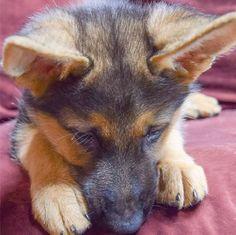 Luke Milani, Denise Milani's german shepherd puppy.