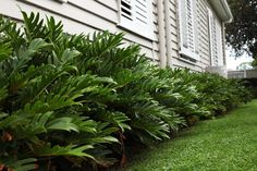 PHILODENDRON XANADU | SHOP | https://plantsinabox.com.au/products/philodendron-xanadu-buy-plants-online?variant=20781941061
