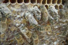MELISSOCOSMOS: 5 μελισσοκομικοί χειρισμοί για να αντιμετωπίσετε τη βαρρόα όλο το χρόνο!