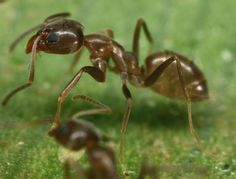 Researchers from North Carolina State University have found that one of the most aggressive invasive ant species in the United States – the Argentine ant – appears to have met its match in the Asian needle ant. Specifically, the researchers have found that the Asian needle ant is successfully displacing Argentine ants in an urban environment, indicating that the Asian needle ant – with its venomous sting – may be the next invasive species to see a population boom.
