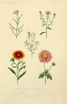 Plantes vivaces.Plate from 'Horticulture végétaux d'ornement' par A. Dupuis [et] F. Hérincq. [1871]
