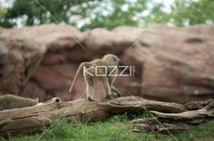 baby primate on top of a dead tree - Young Baboon standing on a dead tree inside a zoo.