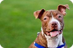 Belleville, MI - American Pit Bull Terrier Mix. Meet RANGER, a puppy for adoption. http://www.adoptapet.com/pet/10451412-belleville-michigan-american-pit-bull-terrier-mix