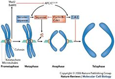 The anaphase promoting complex/cyclosome: a machine designed to destroy Cell Cycle, Recent Discoveries, Cell Biology, Machine Design, Genetics, Dna, Insight, Medical, Activities