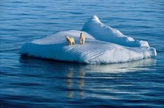 Prins Karls Forland  | Mother bear and two-year-old cub drift on glacier ice. Hudson Strait ...