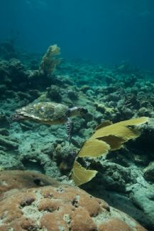 Hawksbill sea turtle.  Great pic!