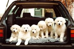 You don't get much cuter than a load of kuvasz puppies!