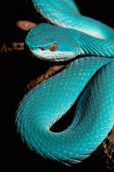 White-Lipped Tree Viper in its blue phase. Wow, its a very gorgeous phase.