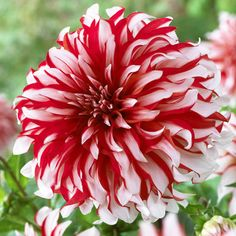 Santa Claus Dahlia -- Giant decorative Dahlia, with red and white striped blooms. Ht. 90-120cm. Dutch grown.