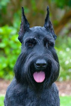 Maybe you've just adopted a Schnauzer into your family and don't know what to call them yet. If you're looking for the best name for a Schnauzer dog, you've come to the right place! Here are 30 of the best sweet names for Schnauzer dogs! Miniature Schnauzer Puppies, Giant Schnauzer, Schnauzer Puppy, Schnauzers, Dog Breeds That Dont Shed, Cute Dogs Breeds, Best Dog Names, Best Dogs, Schnauzer Grooming