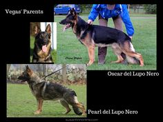 This is the mother and father of Vegas del Lupo Nero - the father of Kenai's puppies. #germanshepherd #gsd