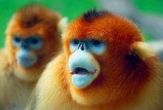 Snub-nose monkeys