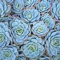 Ice Rose - succulents.