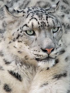 Snow Leopard #Animals #Photography