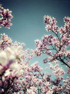 Magnolia Tree (photography by: Jörg Dickmann Photography) Magnolia Trees, Sweet Magnolia, Trees And Shrubs, Life Is Beautiful, Science Nature, The Great Outdoors, Flower Power, Beautiful Flowers, Scenery