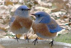 Western Bluebird nests, eggs and young - Photos