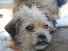 Shadow is an adoptable Shih Tzu Dog in New York, NY.  Hi, my name is Shadow! I'm a 4 year old male Shihtzu/Lhasa Apso mix, . For now, what you might want to know about me is that I'm 16 pounds of pu...