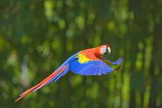 Scarlet Macaw, Corcovado National Park, Costa Rica Having a pet is rewarding, but it can be hard work as well. If you are well prepared,. Scarlet, Parque Nacional Corcovado, Cost Rica, Corcovado National Park, Macao, Costa Rica Travel, Love Your Pet, Adventure Awaits, Nature