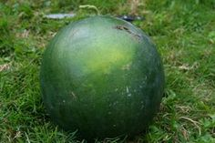 How to grow Sugar Baby Watermelons from seed, determine when the watermelons are ripe, and harvest t Colorful Plants, Fruit Plants, Fruit Garden, Edible Garden, Fruit Trees, Vegetable Garden, Tropical Plants, Herb Garden, Sugar Baby Watermelon
