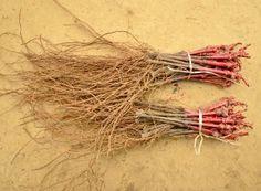 Cum se face altoirea cu ramură detașată, sub scoarța terminală Paradis, Salvia, Mai, Green, Plant, Sage