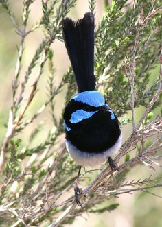superb fairy wren#Repin By:Pinterest++ for iPad#