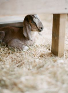 Cute baby goat under the feeder- #babygoatfarm