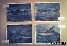 Tiburón Gatuzo, Tiburón Gatopardo y Tiburones Azules para la segunda expo de Naturalia en el  marco del Curso Patagonico, Puerto Deseado 2014. Acuarela, Tinta China y Lápiz de Policromos.