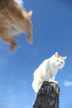 しろとら - かご猫 Blog