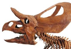 Zuniceratops Skull from the Cretaceous Period, 140-100 Million Years Ago