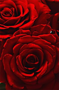 Deep velvety red (not orange red, not purple red, but just like the roses shown!)