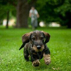 Brown Lukas - credits to Håkan Dahlström. Dapple Dachshund, Wire Haired Dachshund, Dachshund Puppies, Dachshund Love, Dogs And Puppies, Chihuahua, Daschund, Cool Pets, Cute Dogs