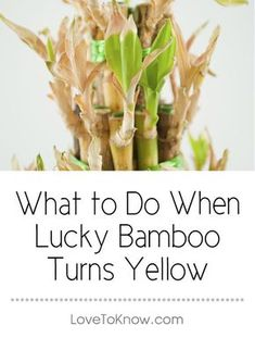 Lucky bamboo can develop yellow leaves or a yellow stalk for a number of reasons. The key to saving a plant when the yellow appears is to assess the cause and take action to restore the plant to health. There are four possible causes for a yellow plant outside of disease: water, light, fertilizer, or temperature. | What to Do When Lucky Bamboo Turns Yellow from #LoveToKnow