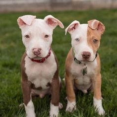 Oh, pretty Pittie babies❣️ ✨✨ #pitbull