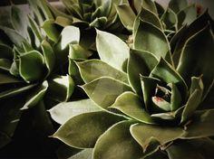Our sempervivum / houseleek / rockrose by Vyamester on DeviantArt Succulents, Deviantart, Facebook, Plants, Instagram, Succulent Plants, Plant, Planets
