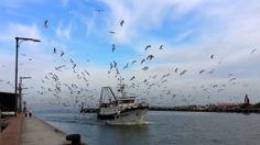 Gabbiani, spazzini del mare... e dei pescherecci.